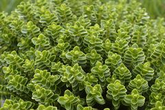 Hebe. Evergreen plant with pale, fine leaves Stock Photo