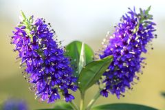 Hebe kwiat fotografia stock