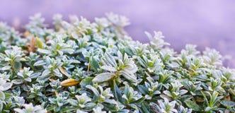 Hebe part sur le fond mauve-clair Hebe sur le flowerbed_ images stock