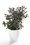 Hebe plant in blossom Stock Photography