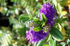 Hebe speciosa. A species of flowering plant in the Plantaginacea Stock Images