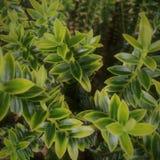 Hebe växt i trädgård royaltyfri fotografi