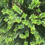 Hebe växt i trädgård royaltyfria bilder