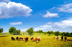 Hebei prairie cattle Royalty Free Stock Photo