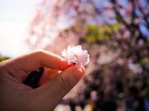 Heben Sie eine schöne und bunte Kirschblüte, Kirschblüte auf lizenzfreies stockbild