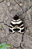 Heben Tiger Moth Royaltyfri Bild