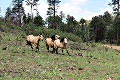 Heber Wild Horse Territory, Apache Sitgreaves National Forest, Arizona, United States. Heber Wild horses running in the Apache Sitgreaves National Forest stock image
