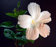 Hebiscus flower2. White hebiscus flower, Malaysia national  flower Stock Images
