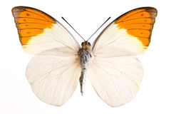 Hebomia butterfly royalty free stock photo