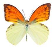 Hebomoia leucippe butterfly Stock Photography