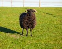 hebridean πρόβατα Στοκ εικόνα με δικαίωμα ελεύθερης χρήσης
