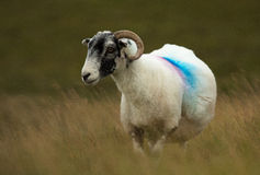 hebridean πρόβατα Στοκ φωτογραφία με δικαίωμα ελεύθερης χρήσης