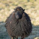 Hebridean овца в поле Стоковые Фотографии RF