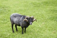 Hebridean овцы Стоковое Фото