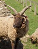 Hebridean овцы Стоковое Изображение RF