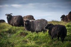 Hebridean паршивые овцы стоя в поле Стоковые Фотографии RF