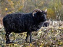 Hebridean паршивые овцы Стоковое Фото