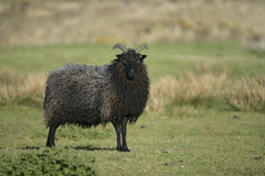 Hebridean black sheep Stock Photography
