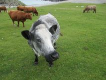 Hebridean fria uppehällekor på naturlig grön grässlätt Columbas fjärd Iona, Skottland Arkivbilder