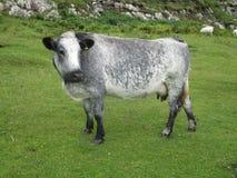 Hebridean ko för silvergrå färger på naturlig grön grässlätt Arkivfoto