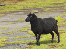 Hebridean sheep Royalty Free Stock Photos