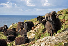 Hebridean sheep at Baggy Point Stock Photo