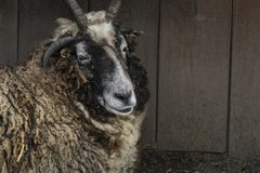 Hebridean Sheep stock photography