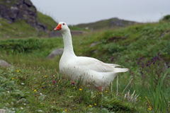 Hebridean snow goose. A snow goose at Dalbeag in the Outer Hebrides, Scotland royalty free stock image