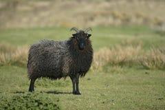 Hebridean svarta får Arkivbild