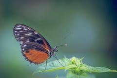 hecal sinaasappel en de zwarte van Heliconius van de insect de alleen vlinder op groene blad dichte omhooggaand royalty-vrije stock afbeeldingen