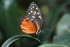 hecale heliconius liści, Fotografia Royalty Free