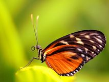 Hecale Longwing, бабочка Heliconiid на лист Стоковое Фото