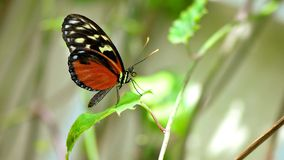 Hecale Longwing butterfly in aviary Stock Images