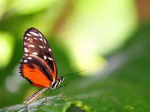 Hecale Longwing butterfly in aviary Royalty Free Stock Photo