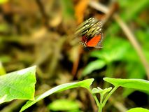 Hecale Longwing butterfly in flight Royalty Free Stock Photo