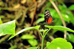 Hecale Longwing butterfly on leaf in aviary Royalty Free Stock Image