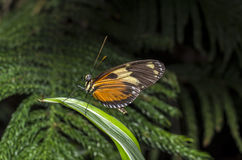 Hecale longwing Butterfly Royalty Free Stock Images