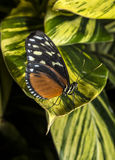 Hecale longwing Butterfly Royalty Free Stock Photo