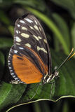 Hecale longwing Butterfly Stock Photo