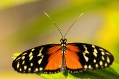 Hecale Longwing, Heliconiid butterfly, Florida Royalty Free Stock Photography