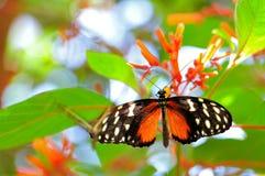 Hecale Longwing, mariposa de Heliconiid en cuphea Imagen de archivo libre de regalías