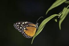 Hecales longtail Stockbild