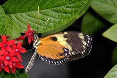 Hecales longwing,  heliconius hecale Stock Photo