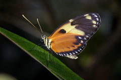 Hecales longwing,  heliconius hecale Stock Photos