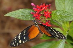 Hecales longwing,  heliconius hecale Royalty Free Stock Photo