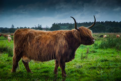 Heck cattle (Bos taurus) Stock Image