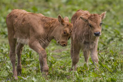 Heck cattle Stock Images