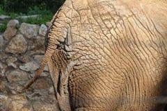 Heck des afrikanischen Elefanten Lizenzfreie Stockfotografie
