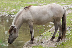 Heck horse Equus ferus caballus Stock Photo