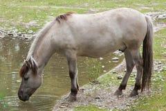 Heck horse Equus ferus caballus. Claimed to resemble the extinct tarpan Equus ferus ferus Stock Photo